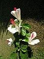 Starr 060815-8579 Hibiscus waimeae.jpg