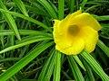 Starr 060916-8886 Thevetia peruviana.jpg