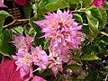 Starr 060928-0430 Bougainvillea sp..jpg