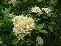 Starr 061105-9635 Murraya paniculata.jpg