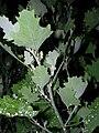 Starr 061114-9904 Chenopodium oahuense.jpg