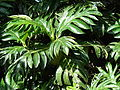 Starr 061213-2353 Artocarpus altilis.jpg
