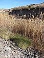 Starr 071224-0562 Phragmites australis.jpg
