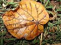 Starr 081230-0746 Hibiscus tiliaceus.jpg