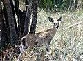 Steenbok (26380094269).jpg