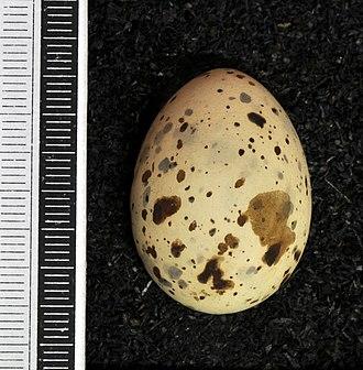 Little tern - Egg, Collection Museum Wiesbaden
