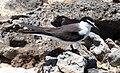 Sterna anaethetus (bridled tern) (Green Cay, offshore San Salvador Island, Bahamas) 2 (15579582542).jpg