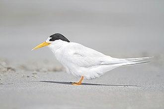Fairy tern - Image: Sterna nereis Little Swanport