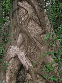 Hemiepiphyte plants that spend part of their life cycle as epiphytes