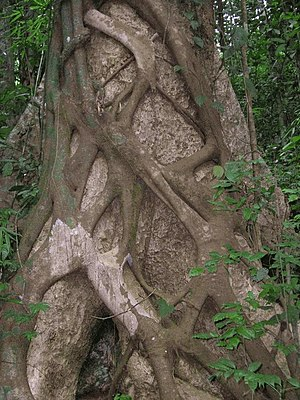 The Private Life of Plants - The strangler fig climbs up the trunks of other trees.