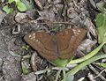 Streaked Baron Euthalia alpheda jama by Dr. Raju Kasambe DSCN2397 (13).jpg