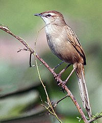Striated Grassbird (Megalurus palustris) in Kolkata W2 IMG 3394.jpg