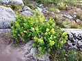 Subalpine spirea - Flickr - brewbooks.jpg