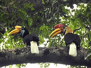 Knobbed hornbill species of bird