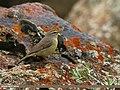 Sulphur-bellied Warbler (Phylloscopus griseolus) (19788288886).jpg