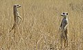 Suricates (Suricata suricata) (6531596527).jpg