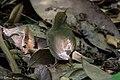 Swainson's Warbler Hooks Wood High Island TX 2018-04-11 09-55-36-2 (41092370684).jpg