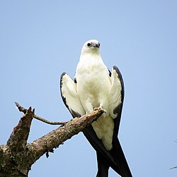 Swallow-tailed Kite (14827547721).jpg