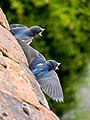 Swallow Fledglings - geograph.org.uk - 1065973.jpg