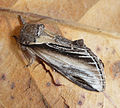Swallow Prominent. Pheosia tremula. Notodontidae (6931010647).jpg