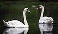 Swans (34862892882).jpg