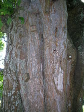 Sycamore with climbing hand holds.JPG