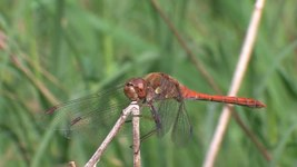 File:Sympetrum striolatum - male - 2012-10-15.ogv