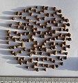 Symplocos paniculata seeds, by Omar Hoftun.jpg