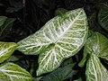 Syngonium podophyllum 2015-06-01 OB 252a.jpg