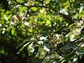 Syzygium ¿ cumini ? (17288580531).jpg
