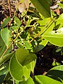 Syzygium caryophyllatum 11.JPG