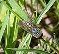 Tabanidae (38843369485).jpg