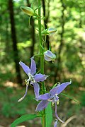 Tall Bellflower (1010601659).jpg