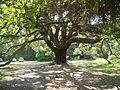 Tallahassee FL Lichgate Oak03.jpg