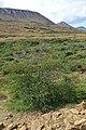 Tamarack (Larix laricina) - Gros Morne National Park, Newfoundland 2019-08-17 (02).jpg