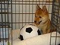 Taro the Shiba Inu scores a goal.jpg