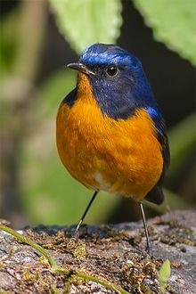 Tarsiger hyperythrus -Eaglenest Wildlife Sanctuary, Arunachal Pradesh, India -male-8.jpg