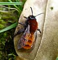 Tawny Mining Bee (Andrena fulva), female - Flickr - gailhampshire.jpg