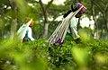 Tea Garden in Panchagarh (cropped).jpg
