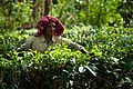 Tea crops gathering process. Bogawantalawa Valley. Sri Lanka-2.jpg