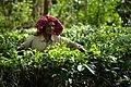 Tea crops gathering process. Bogawantalawa Valley. Sri Lanka-2.jpg