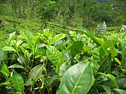 Leaves of Camellia sinensis, also known as the tea plant
