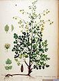 Thalictrum flexuosum — Flora Batava — Volume v20.jpg
