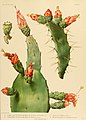 The Cactaceae (Plate IV) (6026502018).jpg