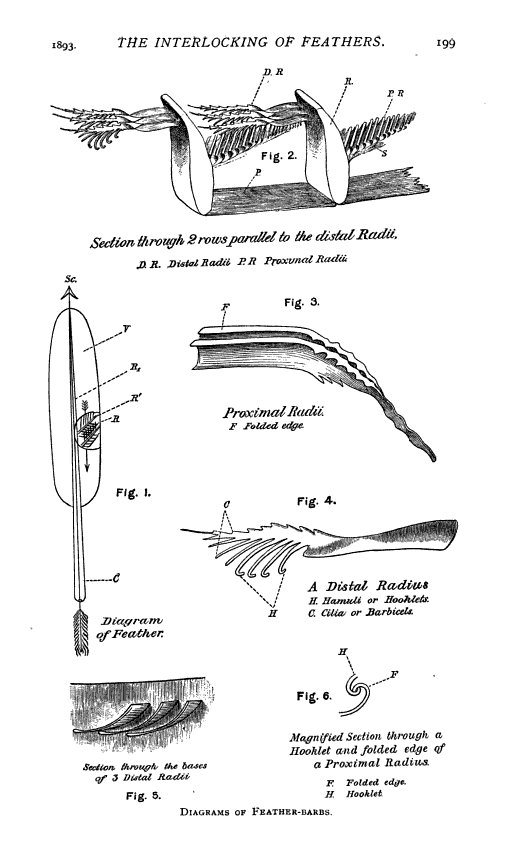 The Interlocking of feathers