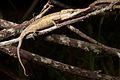 The Lance-nosed chameleon (15904910651).jpg