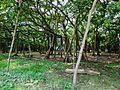 The great banyan tree- 01.jpg