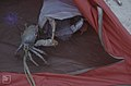 The land crab which invaded tent. Little San Salvador (38839648312).jpg