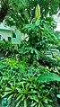Theobroma cacao - Gaylord Opryland.jpg