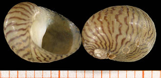 Neritidae - Two shells of the freshwater nerite Theodoxus danubialis, scale bar in mm